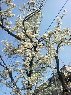 桜に惹かれる理由とは?
