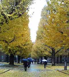 東京大学のイチョウ並木